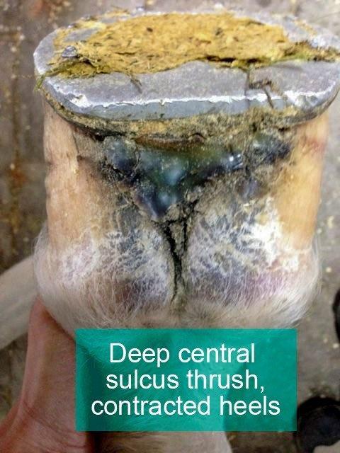deep thrush